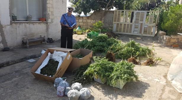 Pachino- Non solo pomodorino. Una famiglia di agricoltori coltivava marijuana alla grande. Poi sono arrivati i carabinieri.