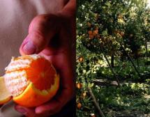 Scordia- Per le arance siciliane la migliore annata degli ultimi 10 anni. Lo afferma Nello Alba uno dei massimi produttori.
