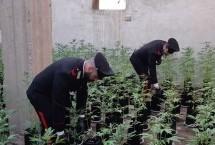 Priolo – Una mega coltivazione di marijuana scoperta dai carabinieri all'interno di un casolare abbandonato.