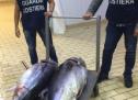 Portopalo – Operazione di polizia marittima della GC porto al sequestro di 2 grossi tonni