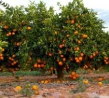 Lentini – Rubati 400 kg di arance: 2 arrestati in flagranza di reato